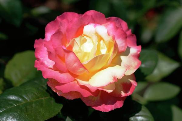 Rose In Bloom Photograph - Rose (pullman Orient Express) by Brian Gadsby/science Photo Library