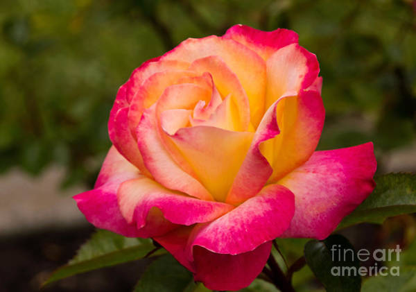 Photograph - Rose Rainbow Sorbet by Kate Brown