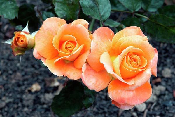 Rose In Bloom Photograph - Rose (remy Martin) by Brian Gadsby/science Photo Library