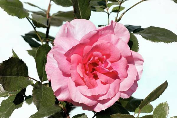 Wall Art - Photograph - Rose (rondilla). Miniature Rose by Brian Gadsby/science Photo Library