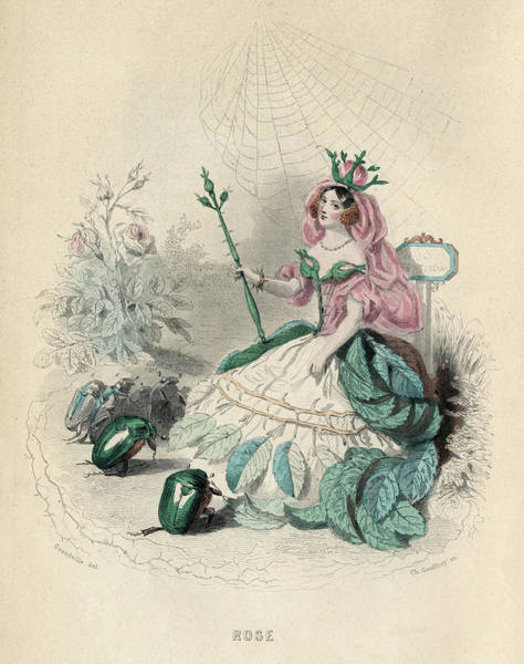 Wall Art - Drawing - Rose (rosa)         Date 1847 by Mary Evans Picture Library
