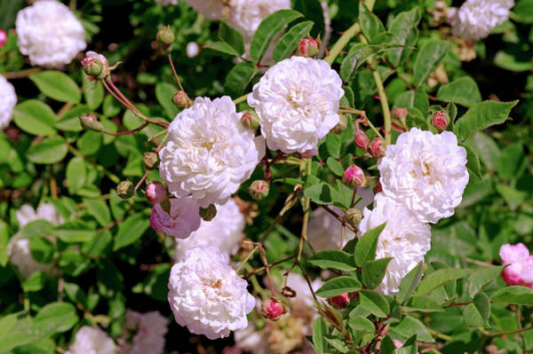 Wall Art - Photograph - Rose (rosa Arvensis 'venusta Pendula') by Brian Gadsby/science Photo Library