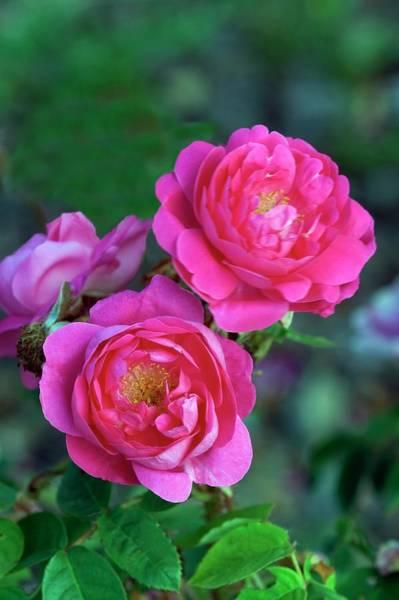 Baron Photograph - Rose (rosa 'baron De Wassenaer') by Brian Gadsby/science Photo Library