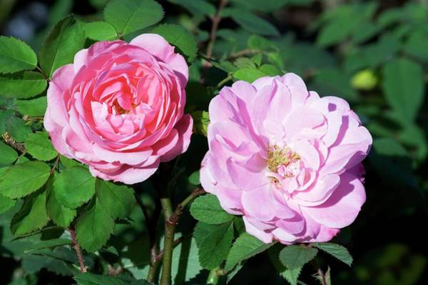 Wall Art - Photograph - Rose (rosa 'bonica') by Brian Gadsby/science Photo Library