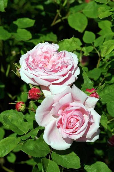 Hybrid Rose Photograph - Rose (rosa 'captain Christy') by Brian Gadsby/science Photo Library