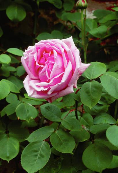 Hybrid Rose Photograph - Rose (rosa 'caroline Testout') by Tony Wood/science Photo Library