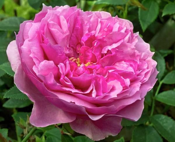 Hybrid Rose Photograph - Rose (rosa 'cessa') Flower by Ian Gowland