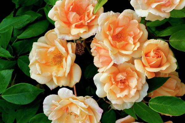 Wall Art - Photograph - Rose (rosa 'crepuscule') by Brian Gadsby/science Photo Library