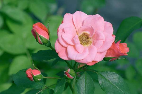 Castle Garden Photograph - Rose (rosa 'fredensborg Castle') by Brian Gadsby/science Photo Library