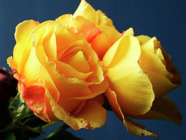 Glorious Wall Art - Photograph - Rose (rosa 'glorious') by Ian Gowland/science Photo Library
