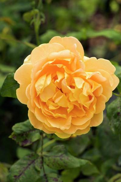 Wall Art - Photograph - Rose (rosa 'golden Celebration') by Adrian Thomas/science Photo Library