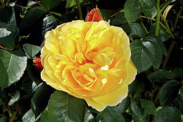 Hybrid Rose Photograph - Rose (rosa Graham Thomas = 'ausmas') by Neil Joy/science Photo Library