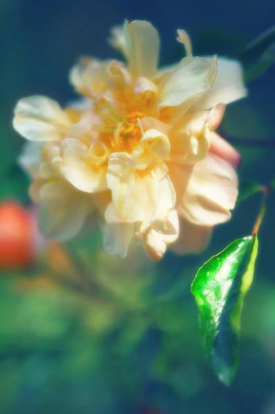 Hybrid Rose Photograph - Rose (rosa Hybrid) by Maria Mosolova/science Photo Library