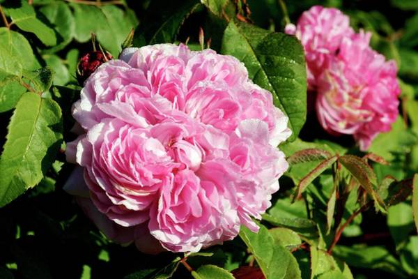 Jacques Photograph - Rose (rosa 'jacques Cartier') by Brian Gadsby/science Photo Library