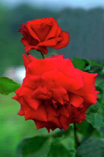 Hybrid Rose Photograph - Rose (rosa 'jacques Prevert') by Brian Gadsby/science Photo Library