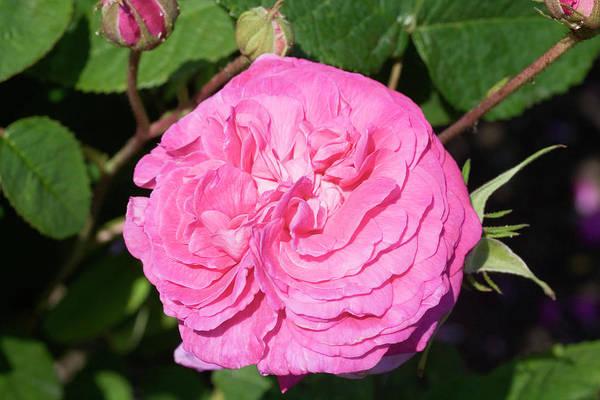 Hybrid Rose Photograph - Rose (rosa 'madame Boll') by Dan Sams/science Photo Library