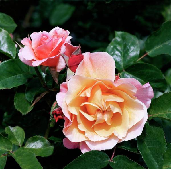 Wall Art - Photograph - Rose (rosa 'marie Curie') by Brian Gadsby/science Photo Library