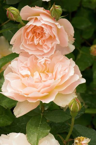Wall Art - Photograph - Rose (rosa 'mary Magdalene') by Adrian Thomas/science Photo Library
