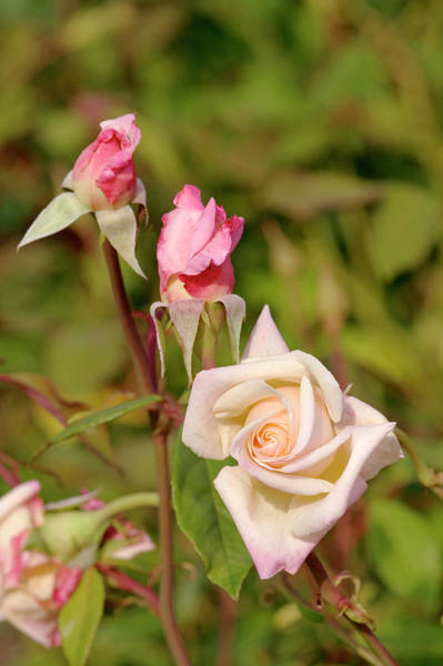 Hybrid Rose Photograph - Rose (rosa 'mlle Franziska Kruger') by Brian Gadsby/science Photo Library