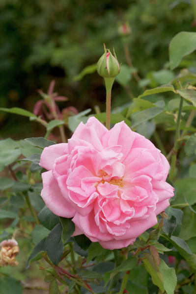 Perpetual Photograph - Rose (rosa 'mme. Scipion Cochet') by Brian Gadsby/science Photo Library