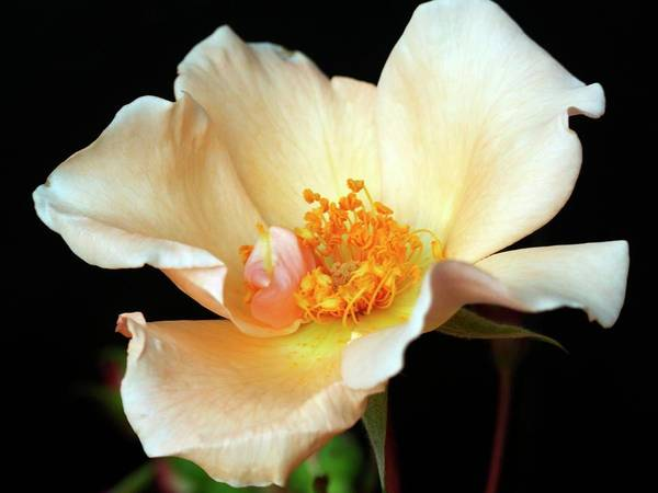 Wall Art - Photograph - Rose (rosa 'mrs Oakley Fischer') by Ian Gowland/science Photo Library