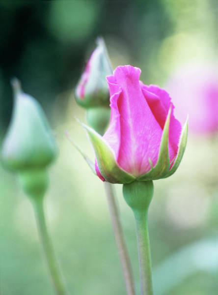 Hybrid Rose Photograph - Rose (rosa 'pink Peace') by Rachel Warne/science Photo Library