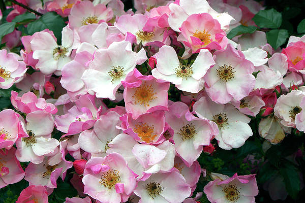 Rosy Wall Art - Photograph - Rose (rosa 'rosy Cushion') by Neil Joy/science Photo Library