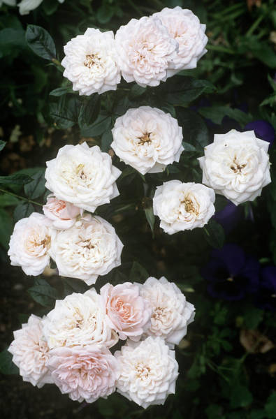 Wall Art - Photograph - Rose (rosa 'special Friend') by Archie Young/science Photo Library