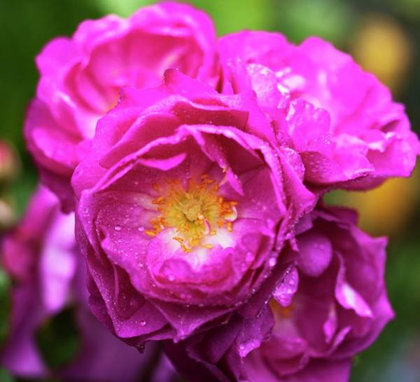 Wall Art - Photograph - Rose (rosa 'storm Cloud') In Flower by Ian Gowland/science Photo Library