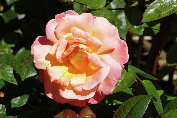 Hybrid Rose Photograph - Rose (rosa Troika = 'poumidor') by Neil Joy/science Photo Library