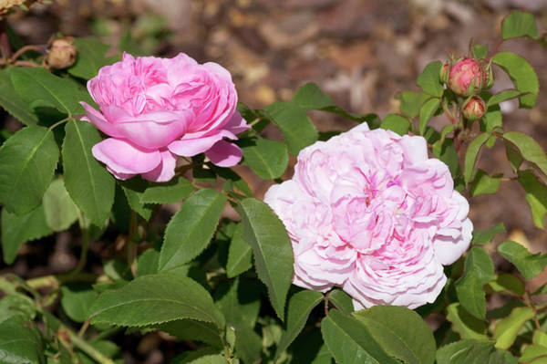 Perpetual Photograph - Rose (rosa X Damascena 'jaques Cartier') by Brian Gadsby/science Photo Library