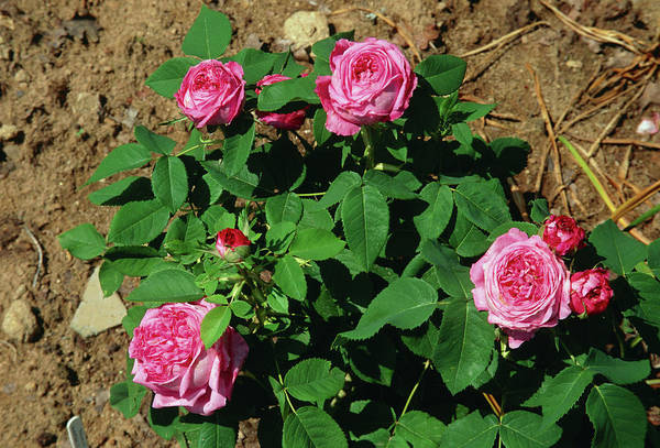 D.c Photograph - Rose (rosa 'yolande D'aragon') by A C Seinet/science Photo Library