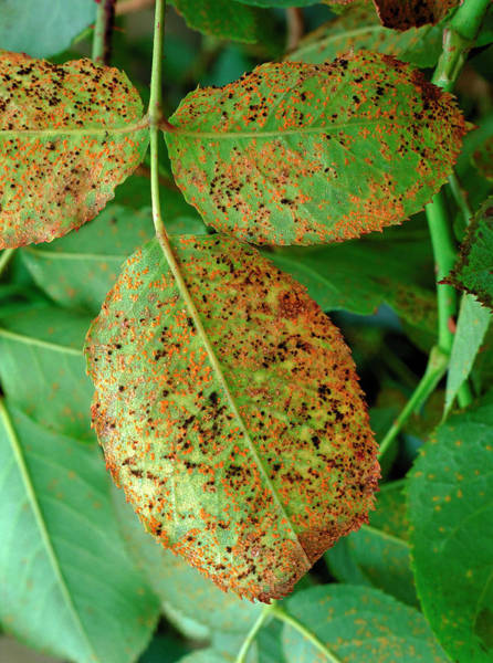 Wall Art - Photograph - Rose Rust Fungus On Leaves by Geoff Kidd/science Photo Library