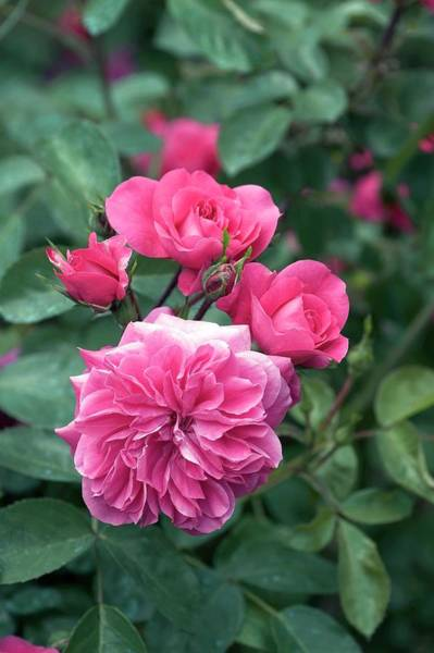 Rose In Bloom Photograph - Rose (sangria). Shrub Rose by Brian Gadsby/science Photo Library