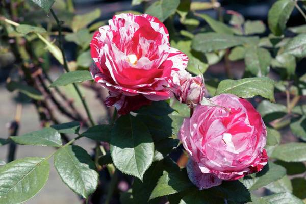 Rose In Bloom Photograph - Rose (scentimental). Floribund Rose by Brian Gadsby/science Photo Library