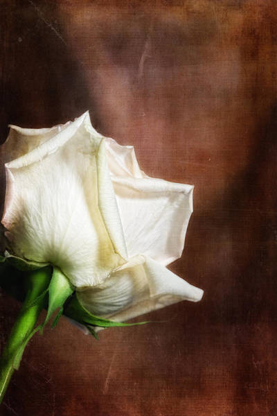 White Rose Photograph - Rose - See Things Differently by Tom Mc Nemar