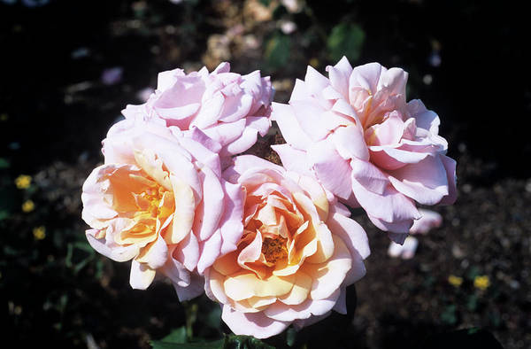 Softly Photograph - Rose 'softly Softly' Flowers by Adrian Thomas/science Photo Library