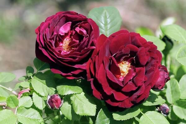 Perpetual Photograph - Rose (souvenir De Docteur Jamain) by Brian Gadsby/science Photo Library