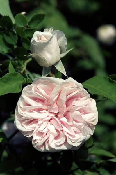 Rose In Bloom Photograph - Rose (souvenir De La Malmaison) by Brian Gadsby/science Photo Library
