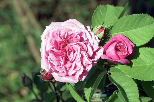 Rose In Bloom Photograph - Rose (souvenir De Lucie) by Brian Gadsby/science Photo Library