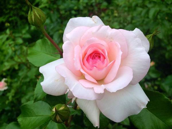Photograph - Rose -summer Pink by Felix Zapata