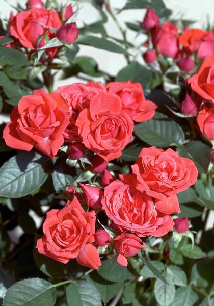 Rose In Bloom Photograph - Rose (top Meillandina) by Brian Gadsby/science Photo Library