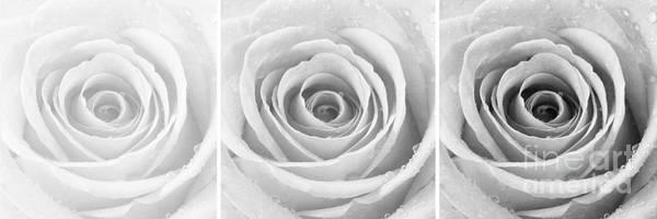 Wall Art - Photograph - Rose Trio - Black And White by Natalie Kinnear