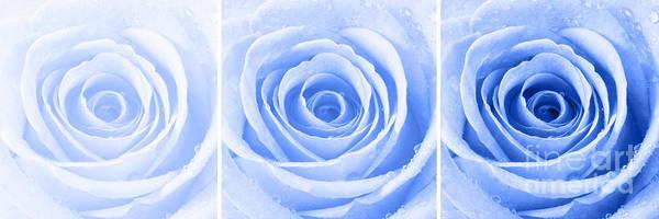 Wall Art - Photograph - Rose Trio - Blue by Natalie Kinnear