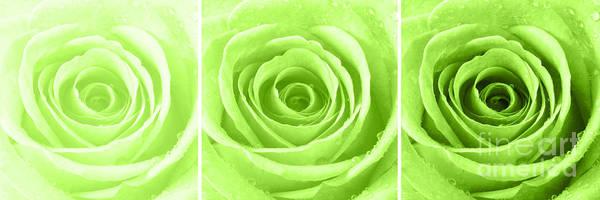 Wall Art - Photograph - Rose Trio - Lime Green by Natalie Kinnear