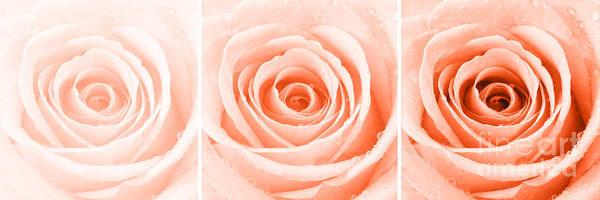 Wall Art - Photograph - Rose Trio - Orange by Natalie Kinnear