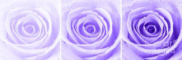 Wall Art - Photograph - Rose Trio - Purple by Natalie Kinnear