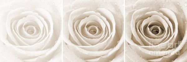 Wall Art - Photograph - Rose Trio - Sepia by Natalie Kinnear