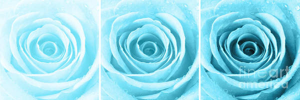 Wall Art - Photograph - Rose Trio - Turquoise by Natalie Kinnear