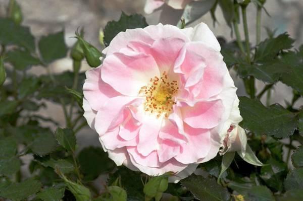Rose In Bloom Photograph - Rose (tsuzuki). Floribunda Rose by Brian Gadsby/science Photo Library